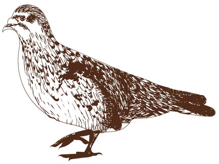 Wild pigeon